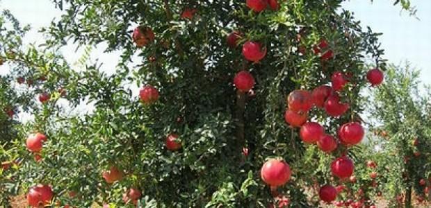 (מאמר דעה) שמן זרעי הרימון